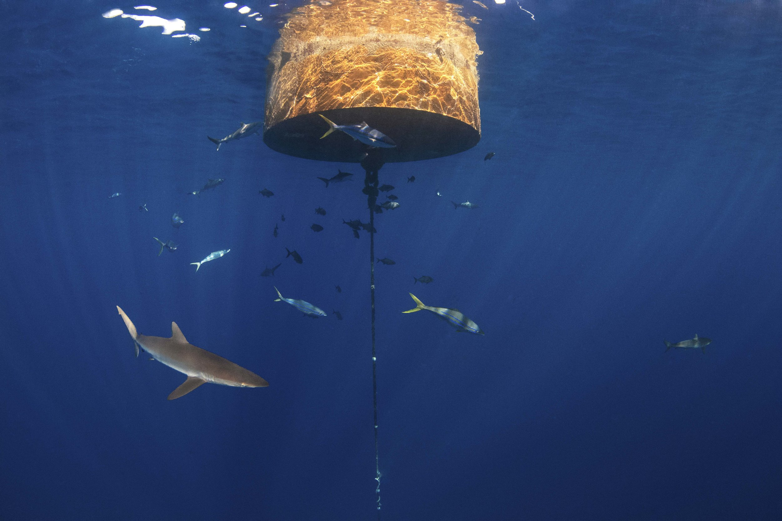 A silky shark and abundance of fish swim under the buoy, our filming location.