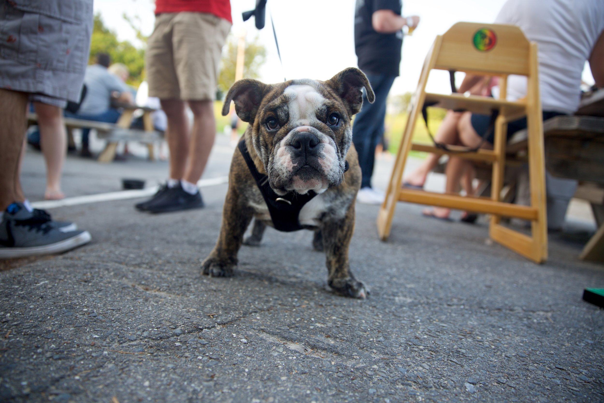 Bulldog Pup.jpg