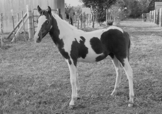 trigger_grulla_and_white_pony_colt.JPG