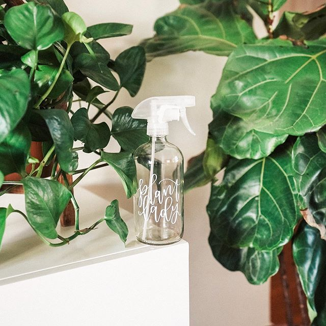 Whipping up a fresh bottle of my Plant Lady spray! Keeps my beloved plants healthy and pest-free! And makes dusting the leaves a breeze (so important on Fiddle Leaf Figs!) . Plant Lady Spray🌿 16oz Spray Bottle 1 capful of Thieves Household Cleaner (about 1 TBSP!) Optional, 10 drops Peppermint EO Top with rain water (or regular water) and swirl around . Spritz daily! 🌿