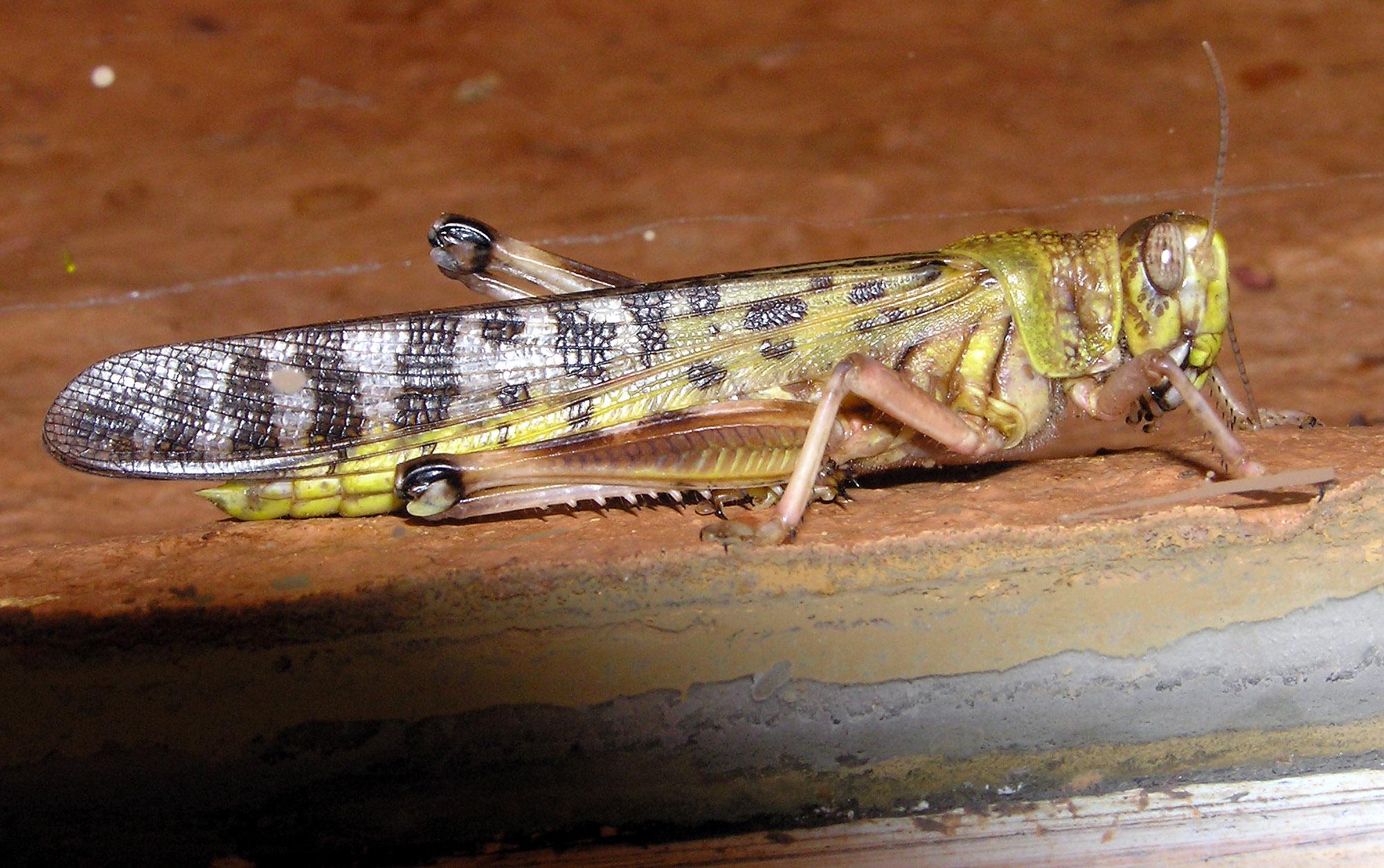 A locust on earth