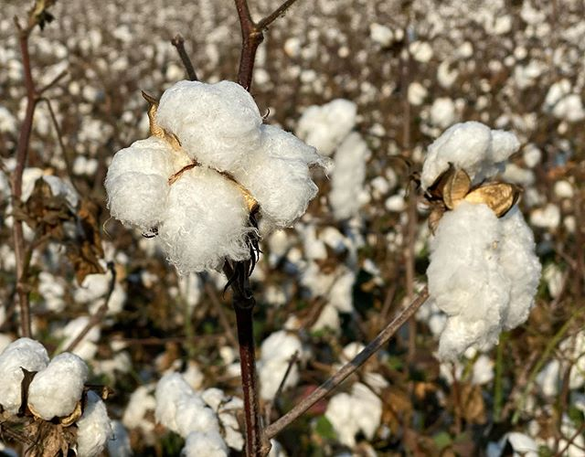 Fluffy Turkish cotton ready for harvest, olives ready for pressing and antiquities amongst the majestic pines.