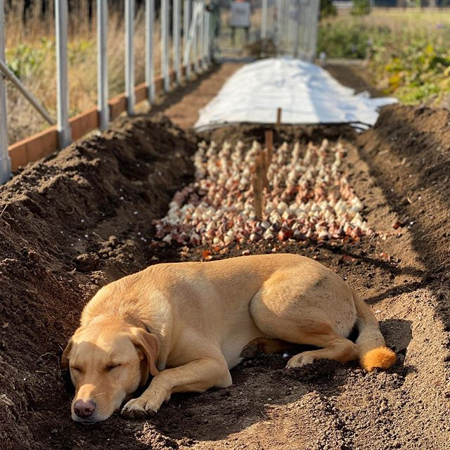 Someone decided a freshly dug trench was a great place to nap. If only he could help plant 1,500 tulip bulbs! 😂🐕💛 #flowerfarmer #tulips #springflowers #fallplanting