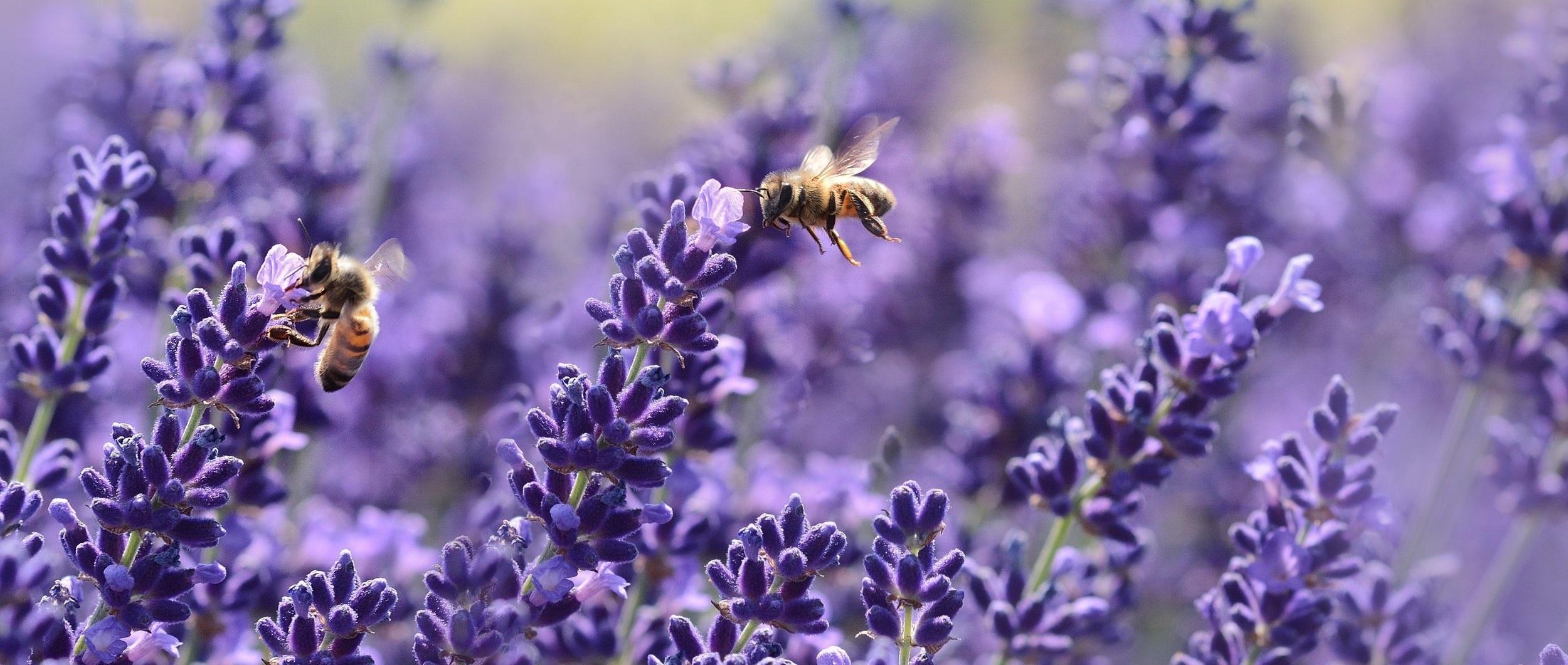 Benefits of Lavender -