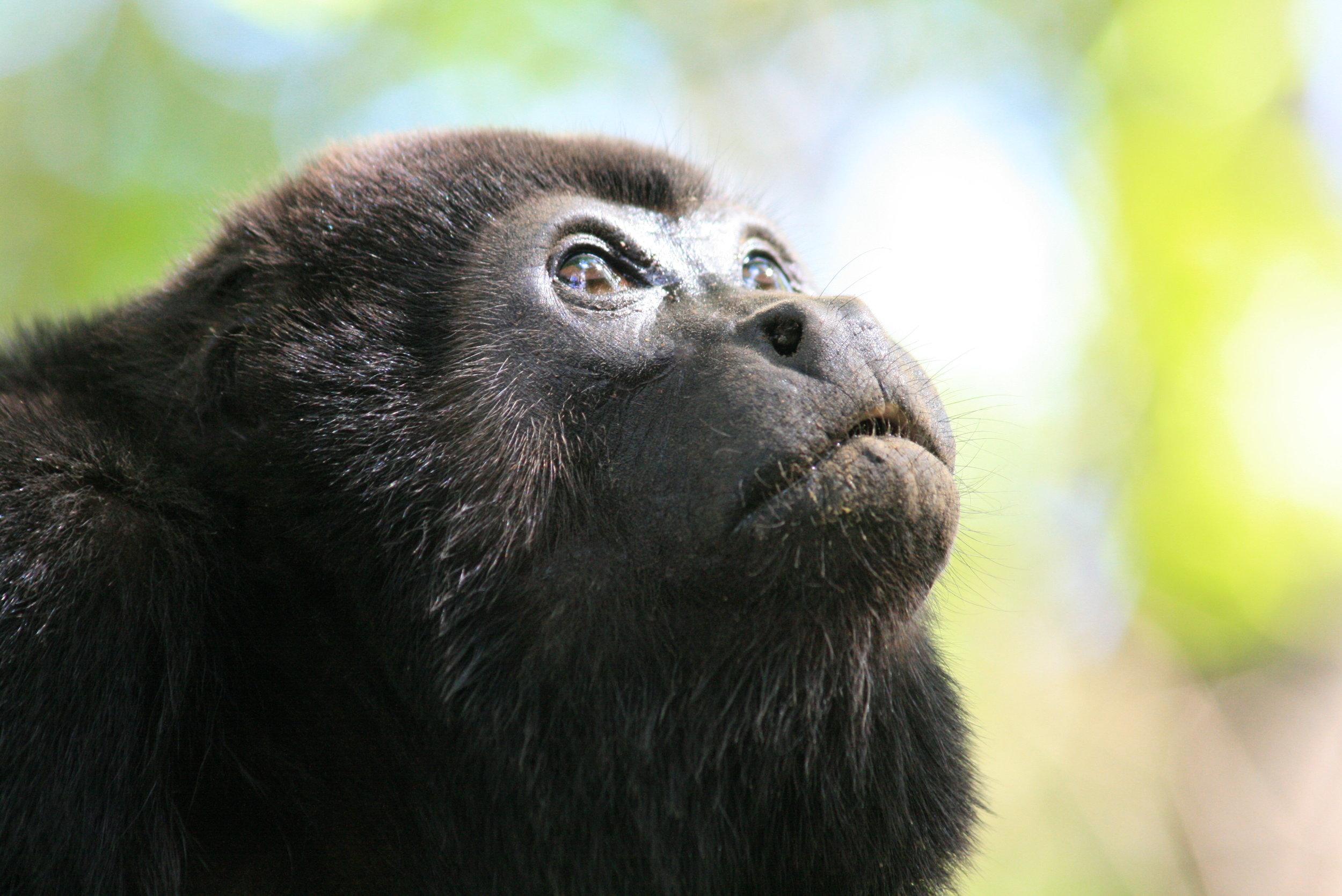 Howler Monkey_Costa Rica.JPG