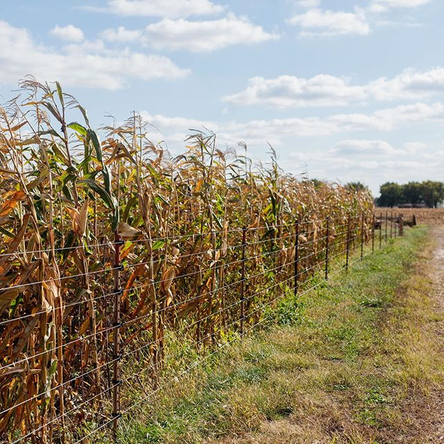 """A new blog post from Neal! """"I paused to reflect on what my open-pollinated corn field looks like: nice, neat rows but vastly varying heights, ears of corn coming out at all different points on the stalk, some stalks with two to three ears of corn, some with up to five stalks coming from a single seed. A veritable mish-mash of diversity!"""" #linkinbio for the rest. #smallfarm #farmblog #farmer #corn #indiana #sustainablefarm #organic"""