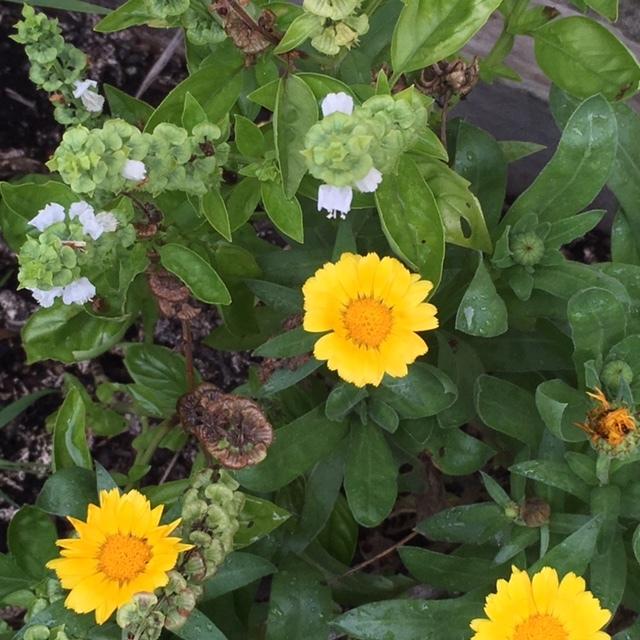 Herbs and flowers.JPG