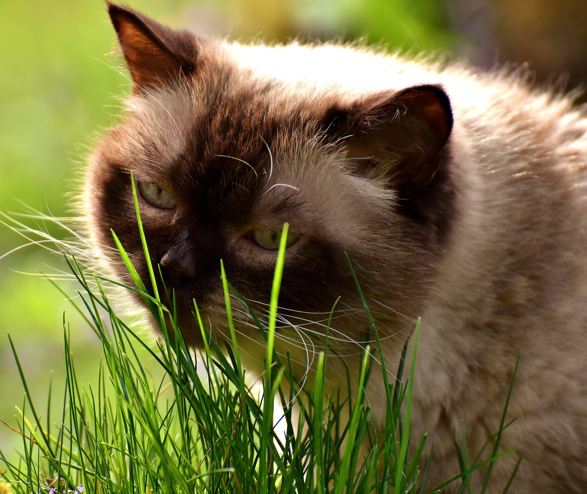 Britse korthaar eet gras.jpg