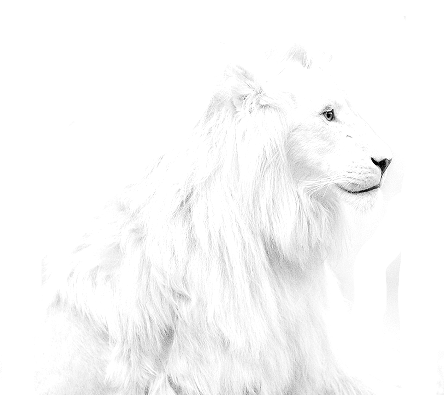 White-Lion-HD-Wallpapers-For-Pc.jpg