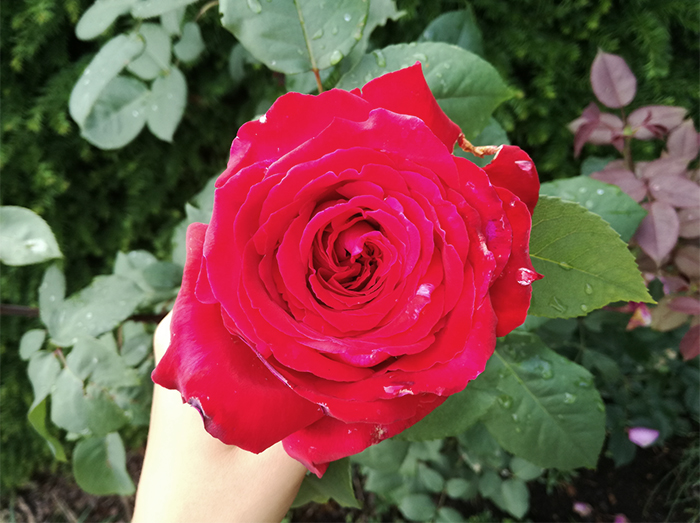 Red Rose From my Garden