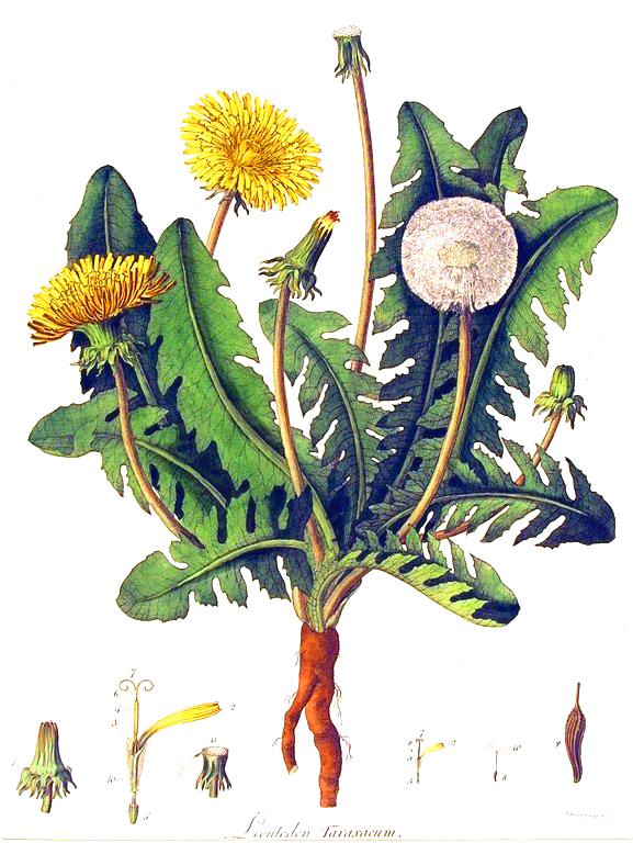 Botanical-Flower-Dandelion-engraving.jpg