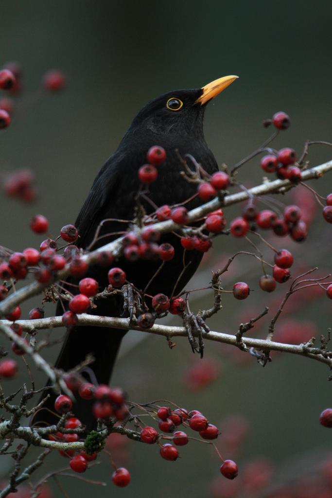Blackbird    by    Chris Bolton