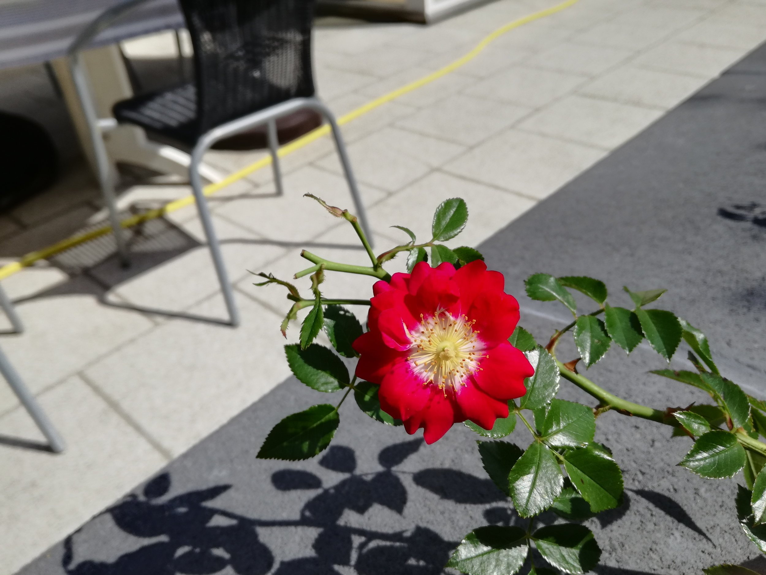 One of our Ground-Cover Roses, humble beauty.