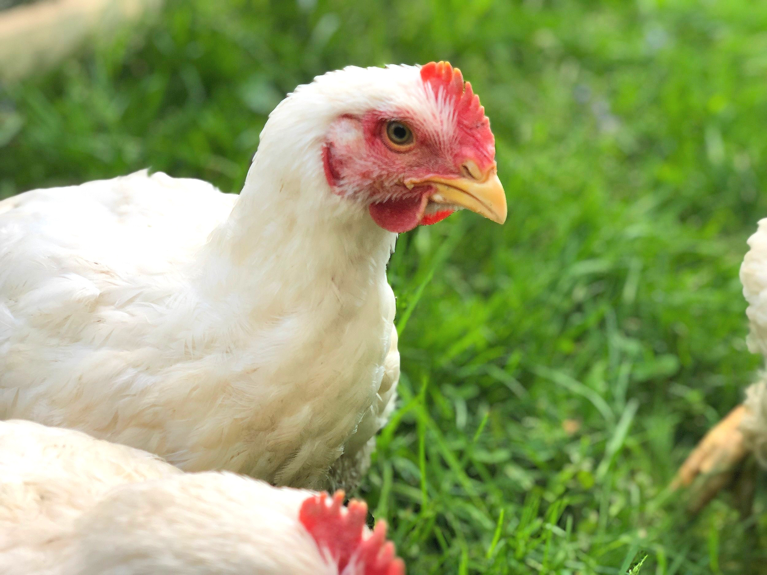 pastured-cornish-cross-broilers.jpg