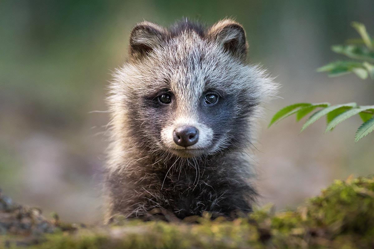 Raccoon dogs
