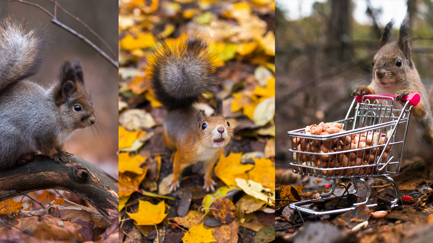autumn squirrels - Photography Workshop / Red Squirrels in Autumn Colors