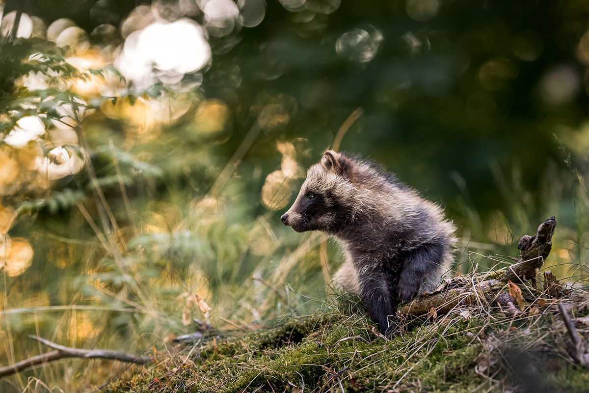 raccoon dog trip -
