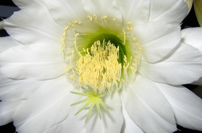 Tricocereus pachanoi flower summer 2010.jpg