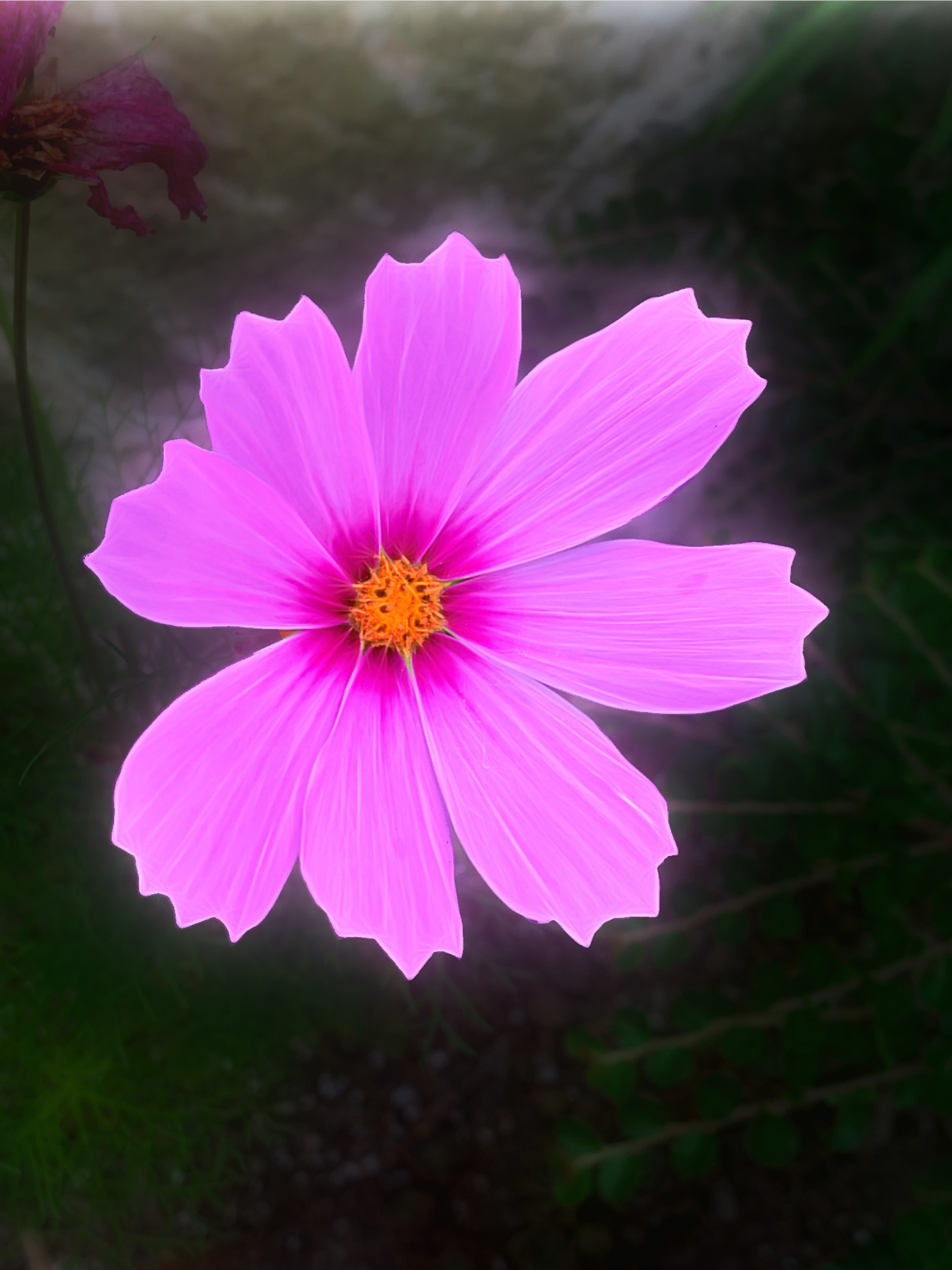 August 16, 2019 - Glorious cosmos (from my walk this morning).