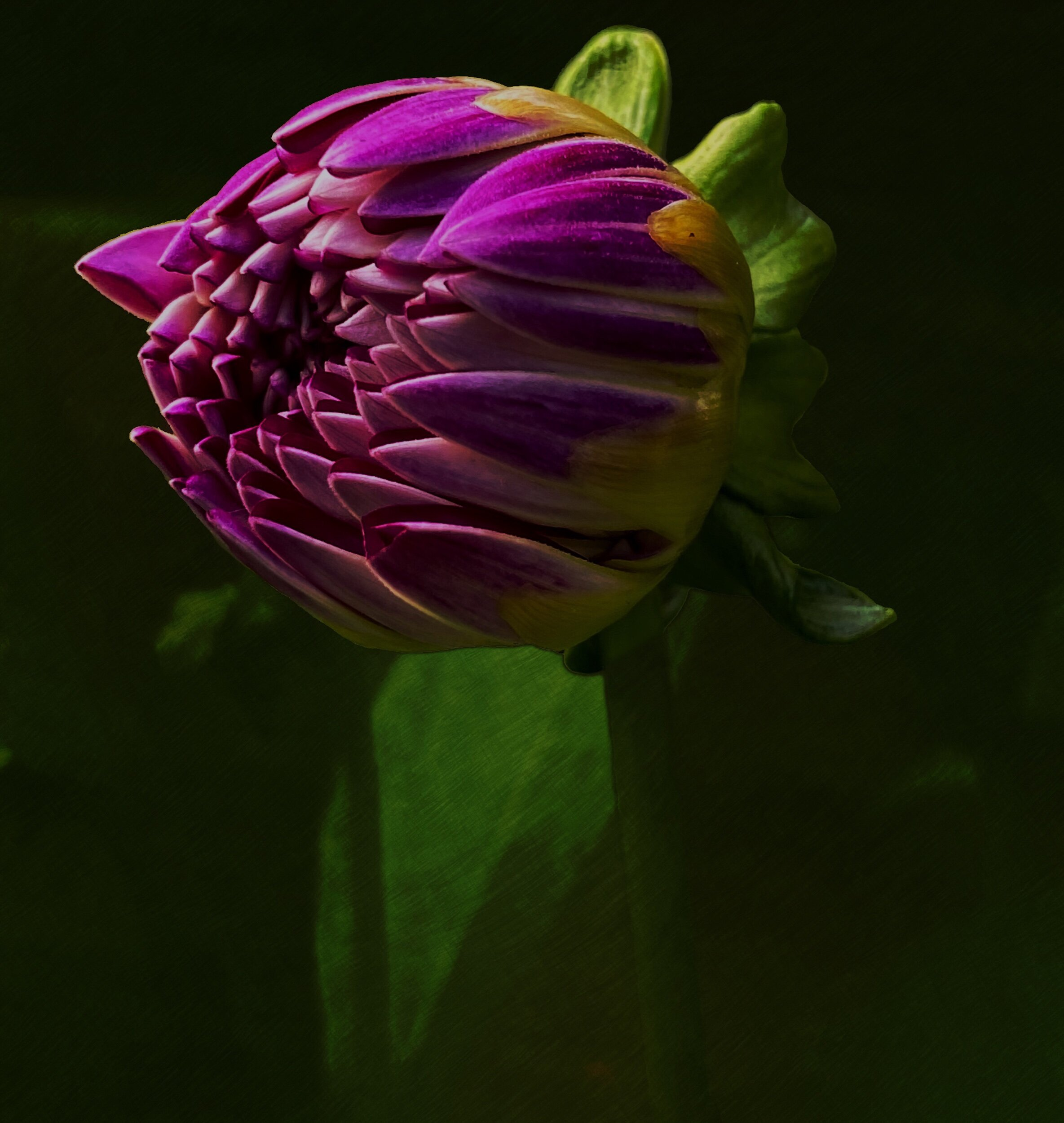 September 24, 2019 - Late bloomer (dahlia).