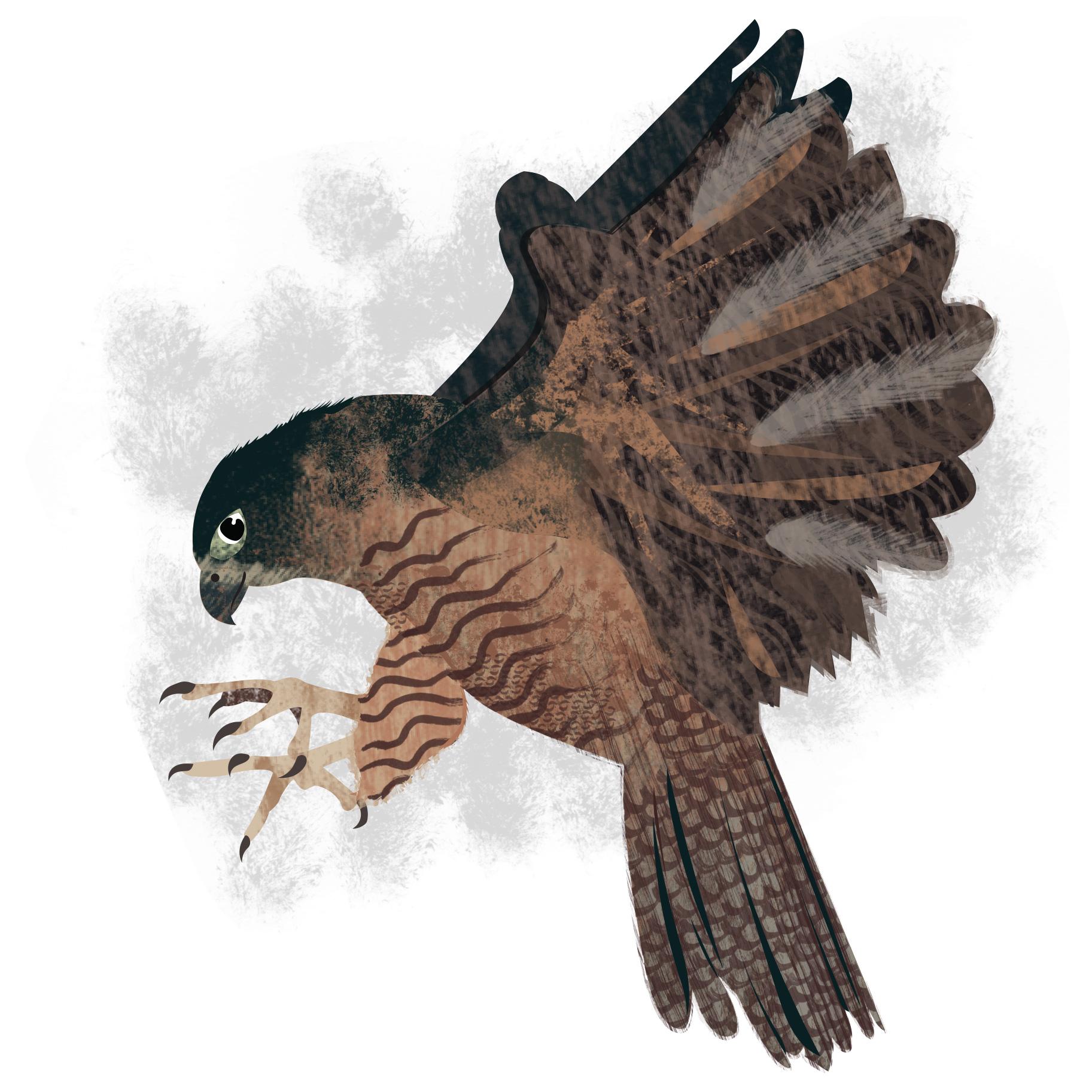 Copy of Falcon Illustration - Animal & Pet Illustration