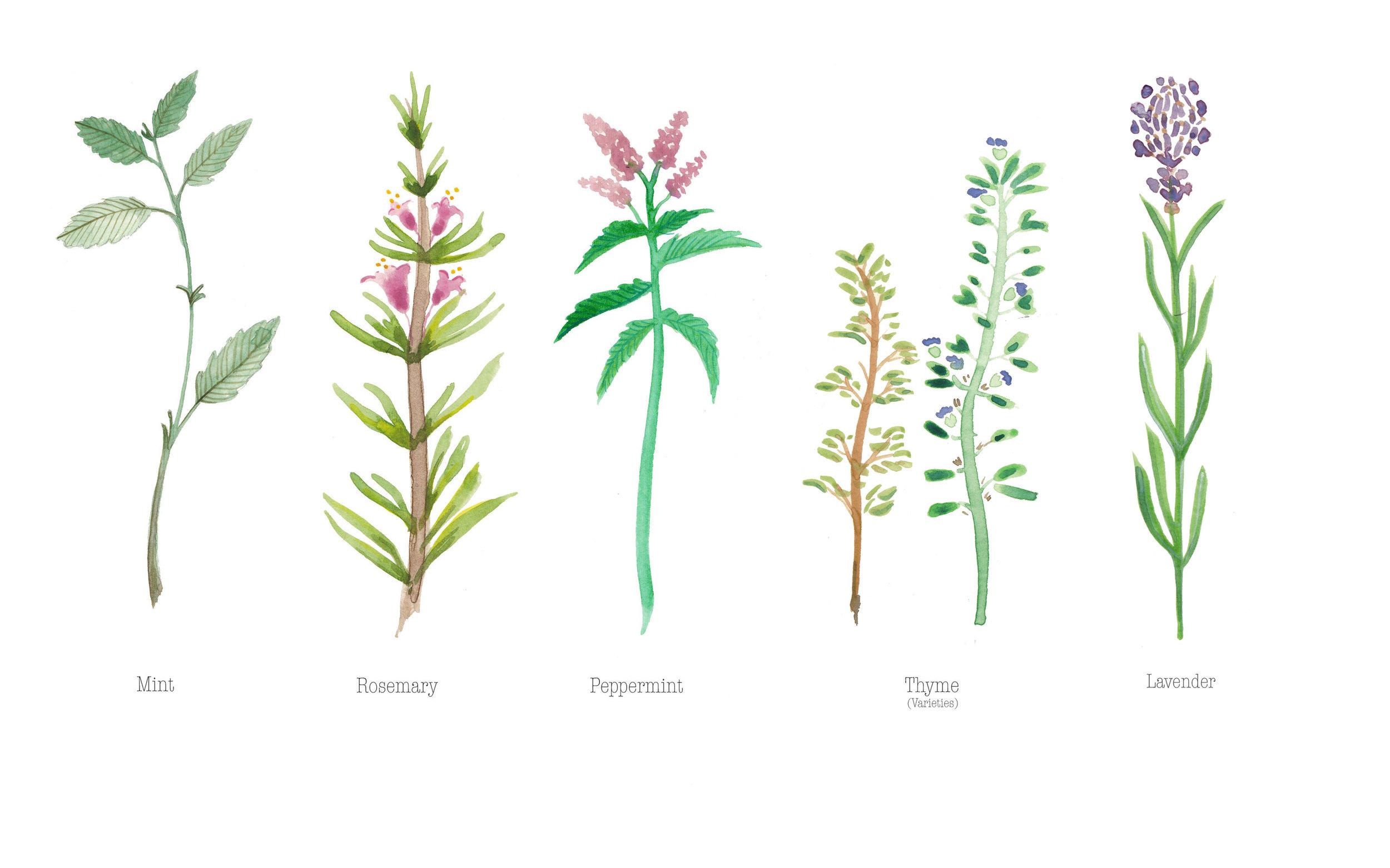 Herbs - Watercolour