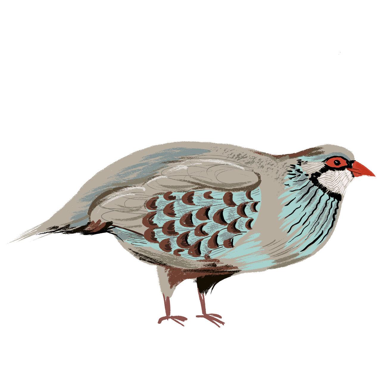 Partridge Illustration - Animal & Pet Illustration
