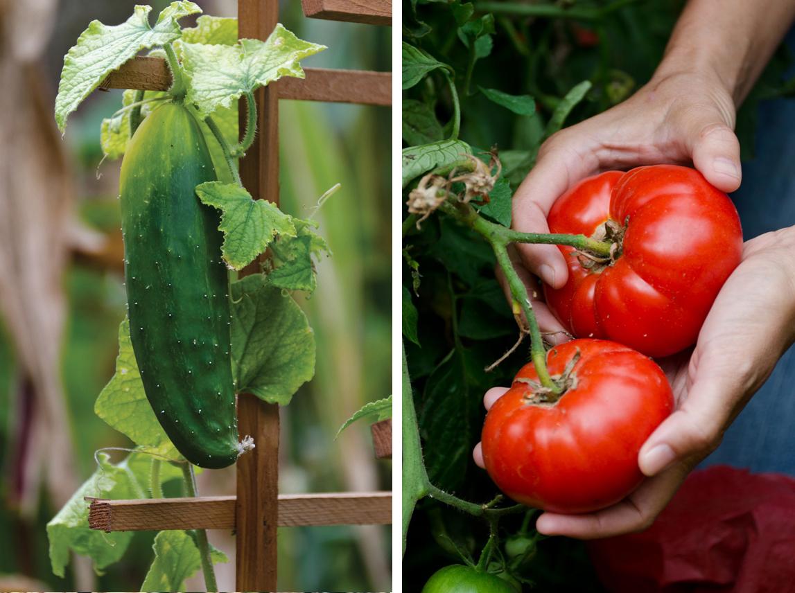 tomatocukemontage.jpg