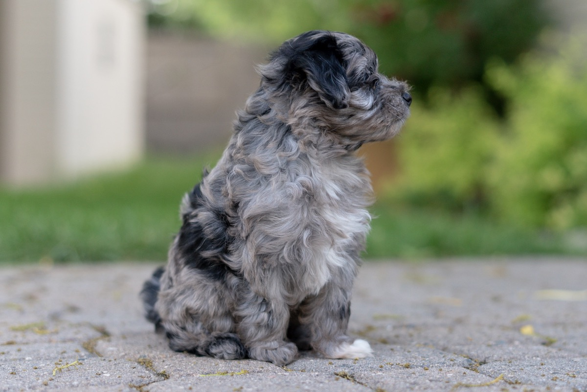 7-week-maltipoo-puppies-00003.jpg