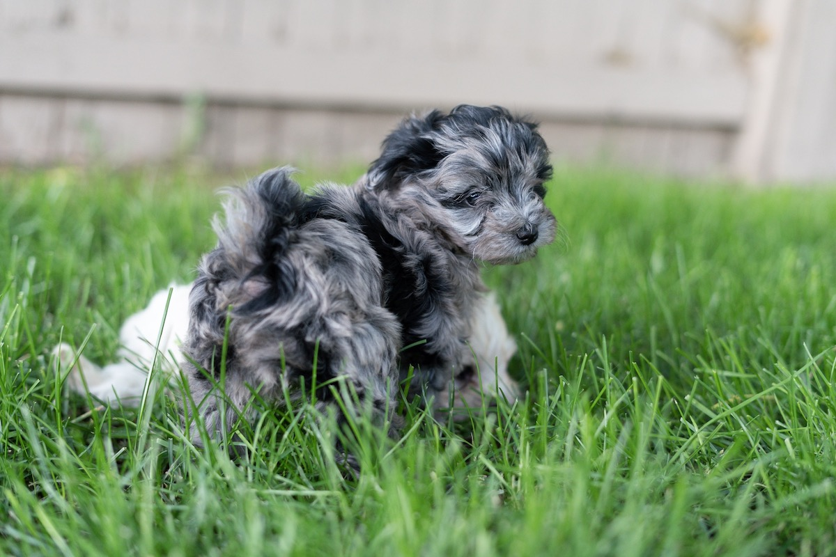 7-week-maltipoo-puppies-00005.jpg