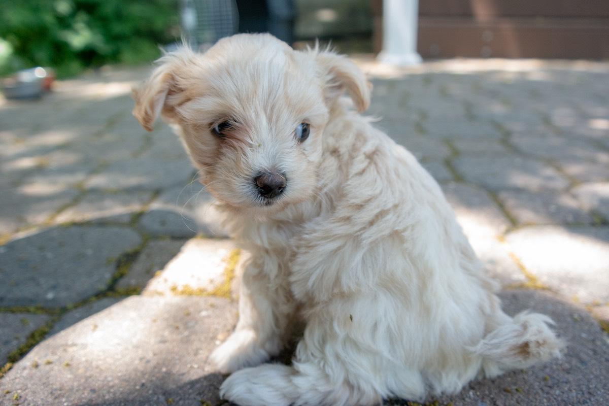 6-week-maltipoo-puppies00005.jpg