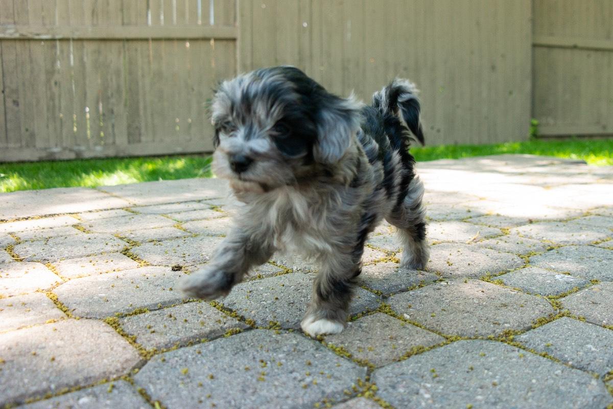 6-week-maltipoo-puppies00006.jpg