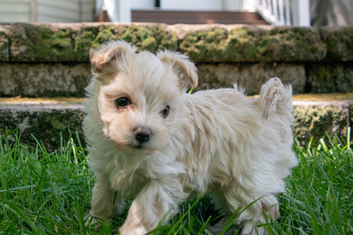 6-week-maltipoo-puppies00007.jpg