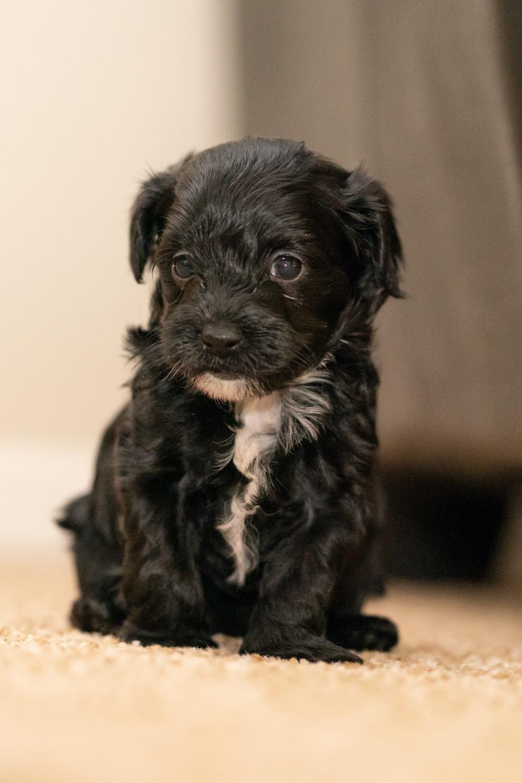 puppy-maltipoo-arrow.JPG