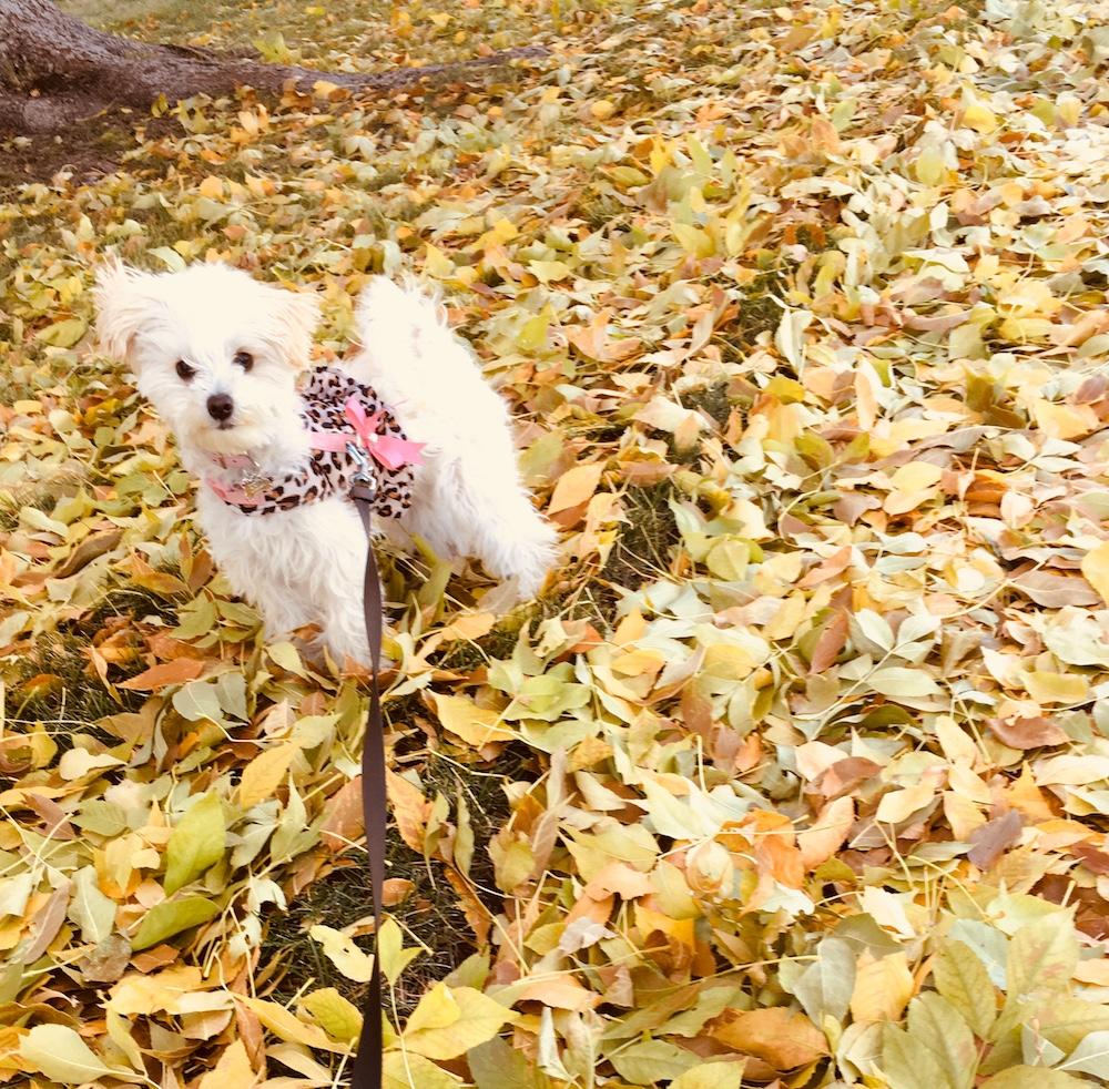 puppy-maltipoo-heidi-six-months.JPG