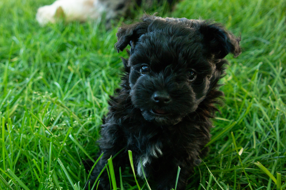 puppy-maltipoo-kona.jpg