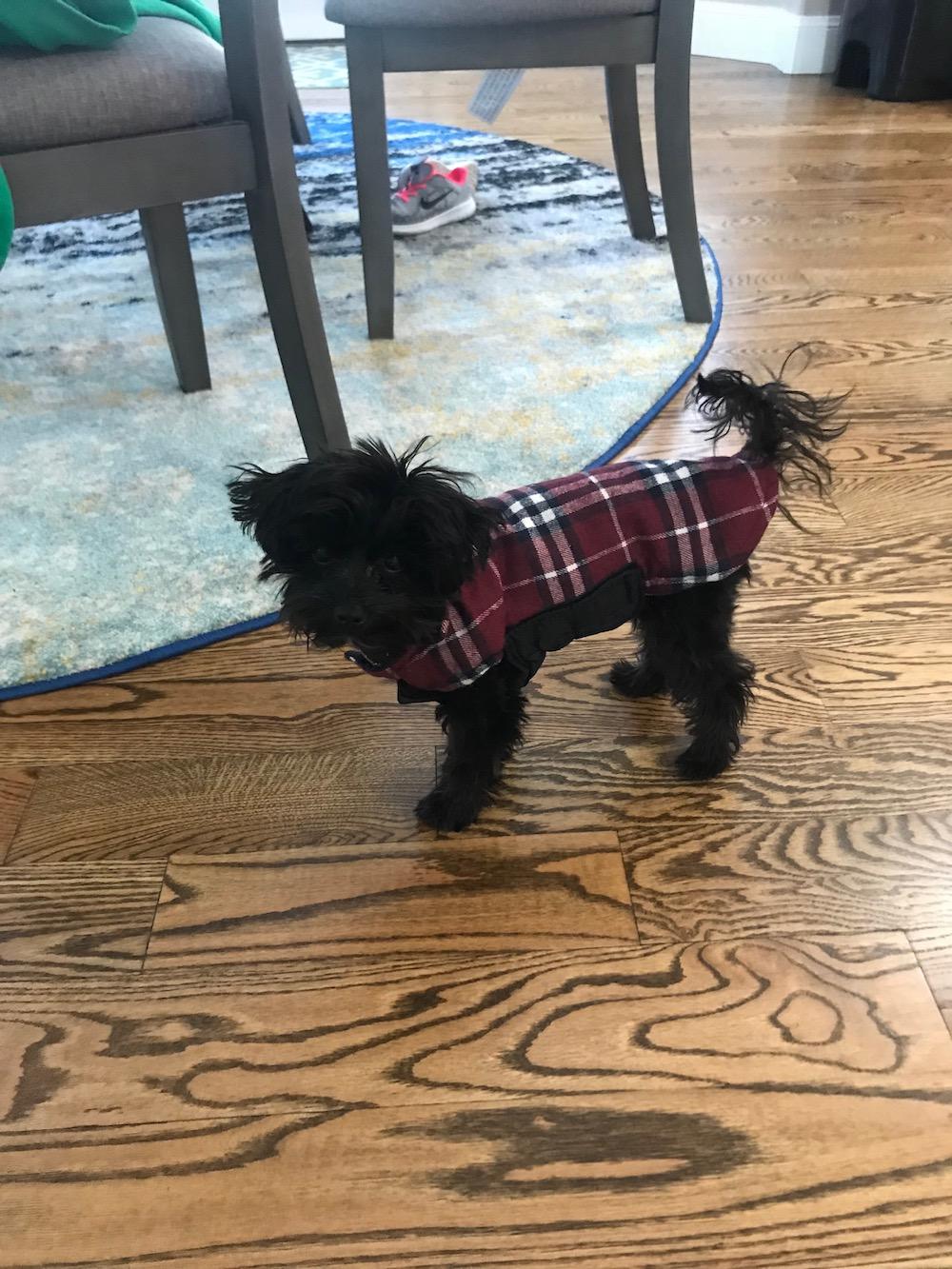 puppy-maltipoo-kona-six-month.jpeg