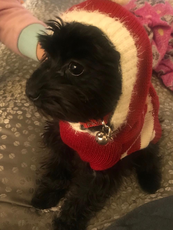 puppy-maltipoo-kona-six-months.jpeg