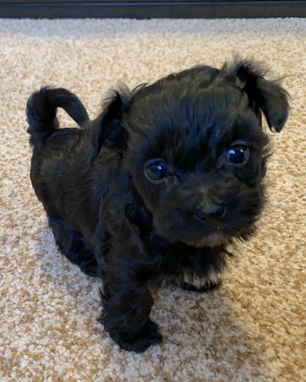 puppy-maltipoo-lulu.jpg