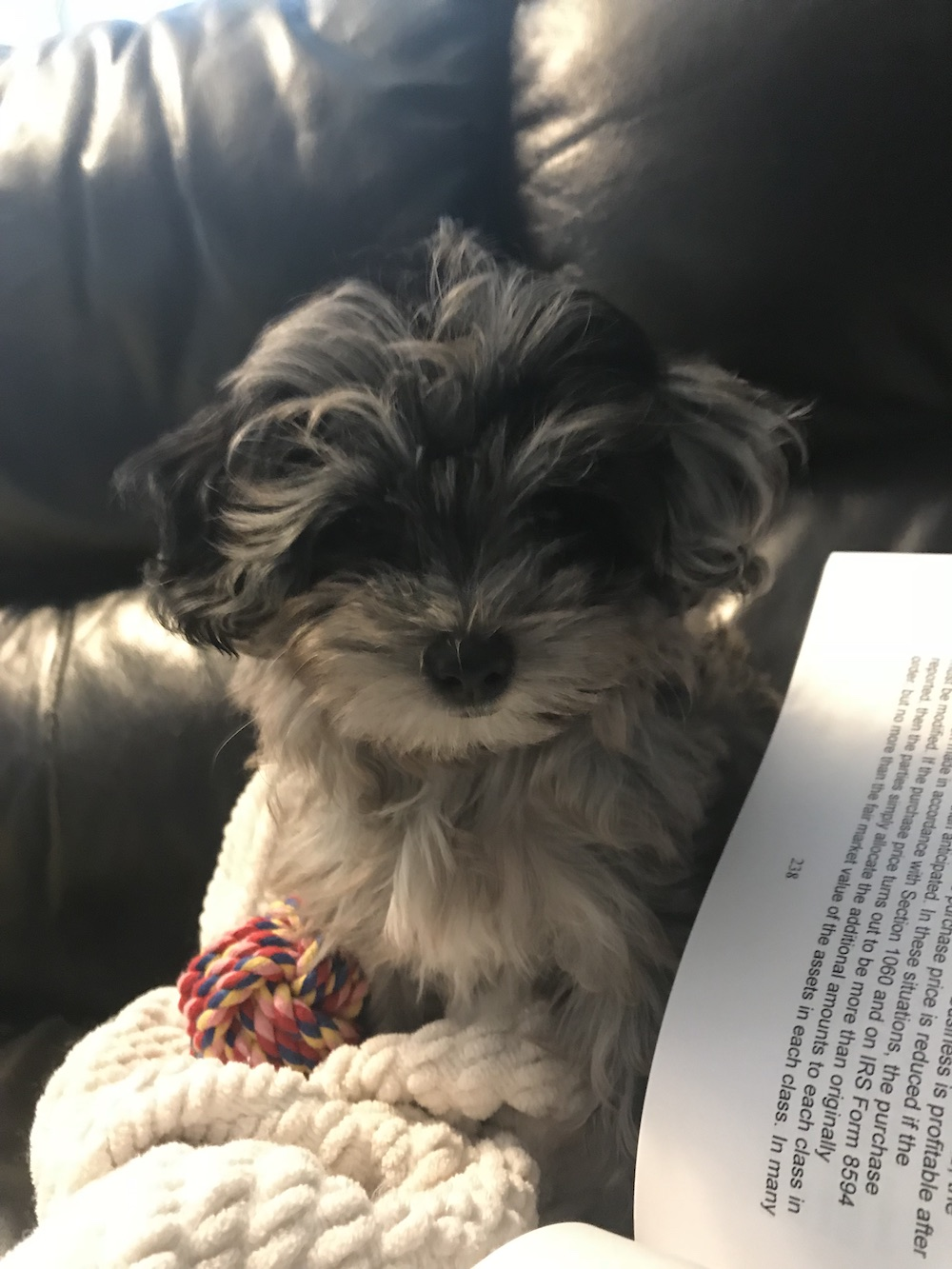 puppy-maltipoo-zhuli-ten-weeks.jpeg