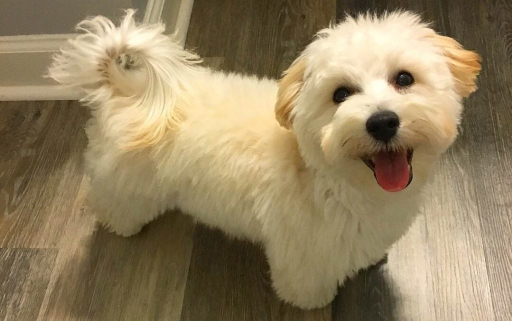 maltipoo-dog-poodle-maltese-mix-breed.jpg