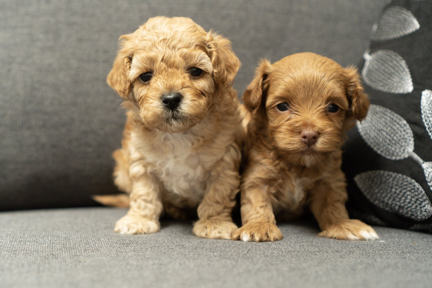 Maltipoo Puppies For With 10 Year