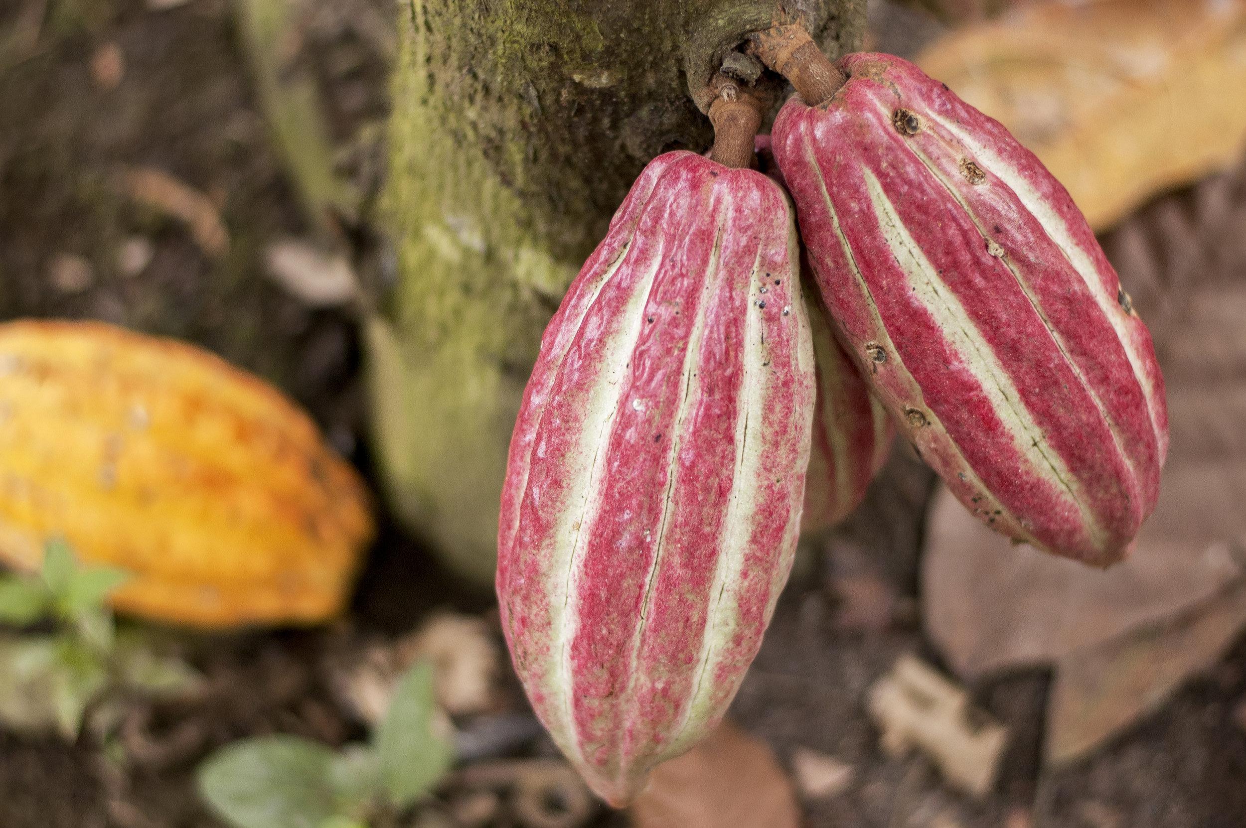KAKAO_Ecuador_kakaofrukter_liggande_Fairtrade-Sverige.jpg