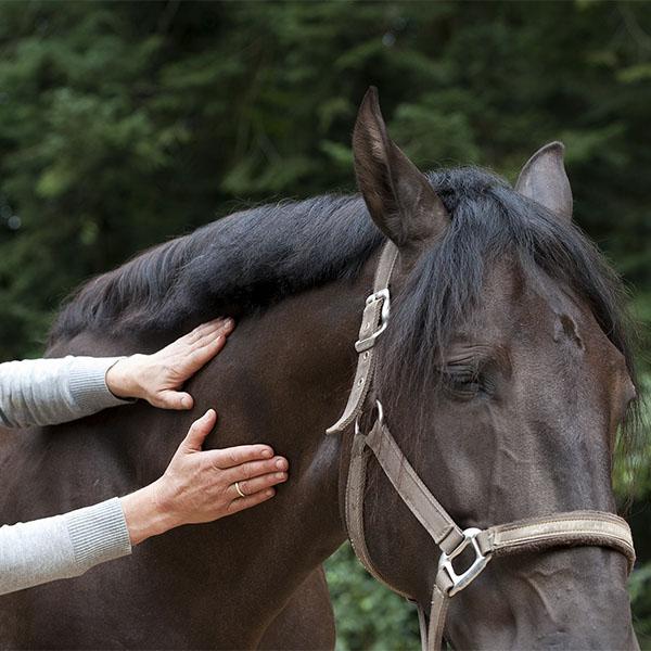 Cranio-Sacraal therapie - Cranio-Sacraal Therapie is een ondersteuningsvorm om paarden te helpen om de oorzaak van hun klachten te achterhalen en bij de oorsprong te behandelen.