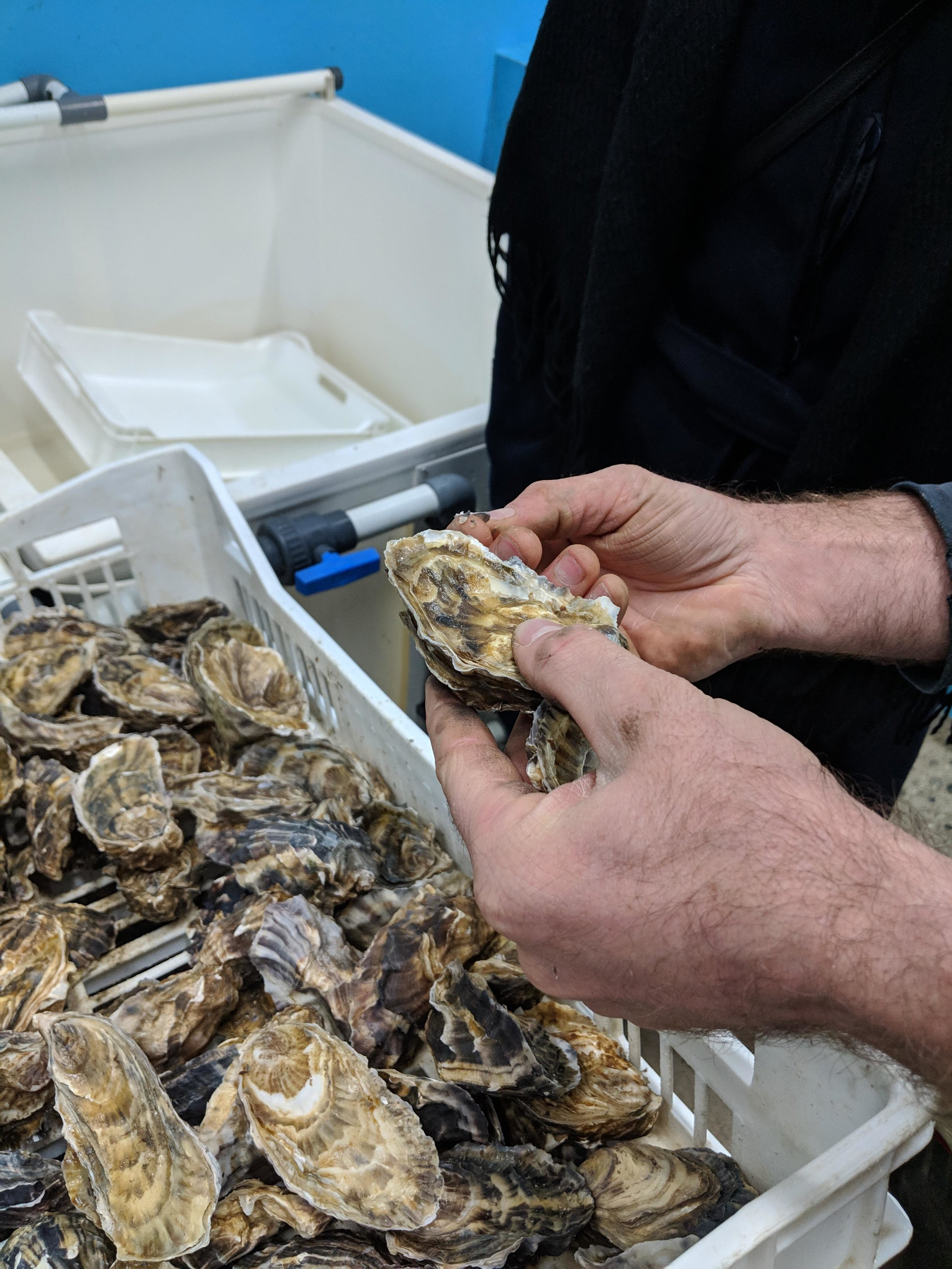 Rock Shellfish oysters in Cornwall