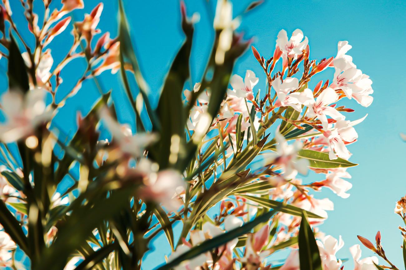 photo fine art projet mémoire de rêvelise rohart -fleurs magnifiques sur ciel bleu en gréce.jpg