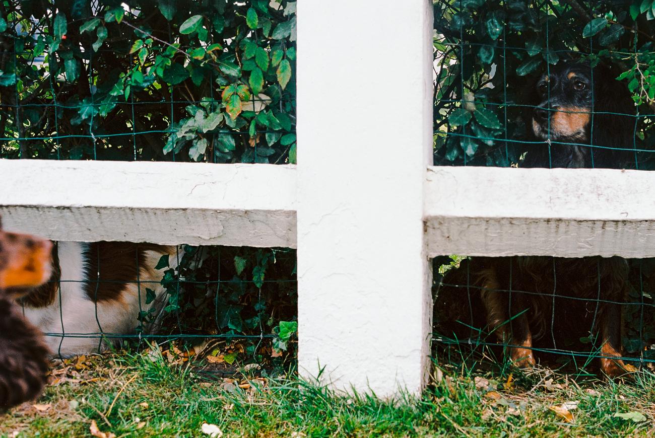 deux chiens enfermés dans un jardin cloturé envient la liberté d'un jeune cocker curieux - photo fineart argentique couleur issue du projet memoire de revelise rohart.jpg