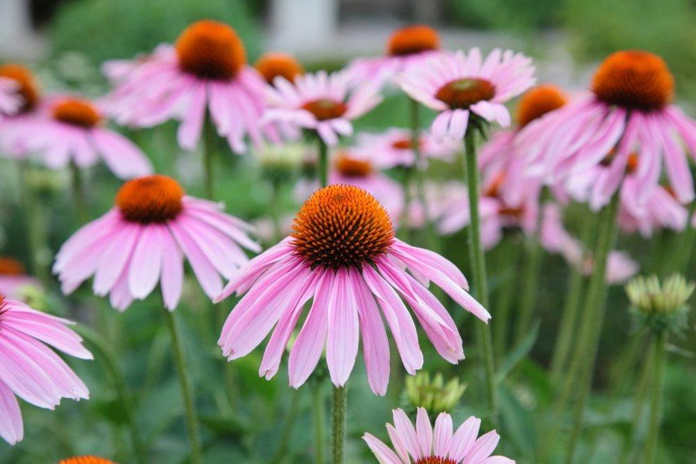 28ab7-echinacea-flowers-1030x687.jpg