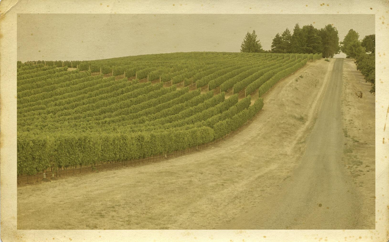 vineyard sepia.jpg