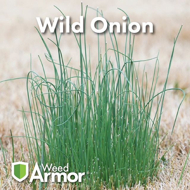 #knowyourweedswednesday  Wild Onion is a pretty invasive perennial weed that can pop up in your lawn and garden. It tends to show itself in the fall, as it starts to cool down. You can keep an eye out and also use your sense of smell, it produces a strong onion smell when it is cut while mowing the lawn.  Protect your garden from the start with our landscape fabric!  Learn more at our website... www.gardenarmor.com  #weeds #weedprevention #wildonion #landscapefabric #garden #flowerbed #yard #lawnandgarden